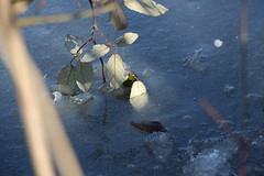 Prise au pige (leblondin) Tags: eau lac glace feuille tang gele