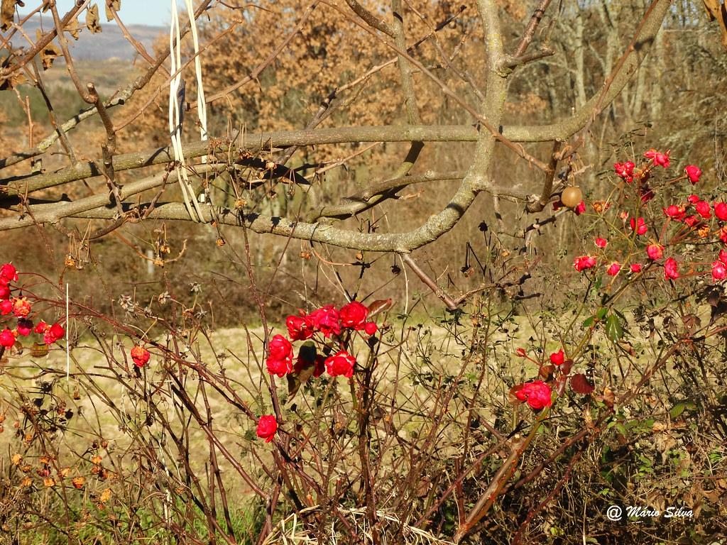 Águas Frias (Chaves) - ... flores vermelhas em pleno inverno ...