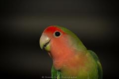 Paquito.jpg (dadafilm) Tags: bird animal closeup parrot exotic tamron90mm