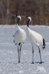 Japanese Cranes (fascinationwildlife) Tags: winter wild snow cold bird nature animal japan japanese asia hokkaido crane wildlife natur north center akan courtship kranich mandschurenkranich