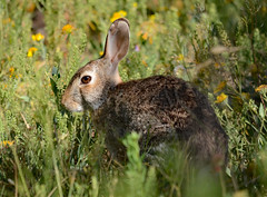 Cottontail (Storm_Front) Tags: rabbit bunny animal cottontail bunnyrabbit cottontailrabbit
