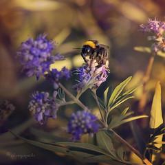 bee's knees (cherryspicks) Tags: light summer plant flower macro nature sunshine closeup insect warm bee