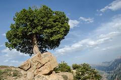 Majestic Tree (Esmaeel Bagherian) Tags: tree nature iran juniper  2016  irannature 1395   nikond7000 esmaeelbagherian