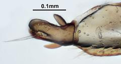 Amara tibialis - gonocoxae (Martin Cooper Ipswich) Tags: female beetle stack microscope amara coleoptera genitalia focusstack carabidae terminalia amaratibialis gonocoxae gonocoxa