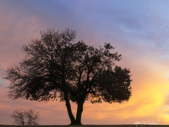 Happy Belated Birthday Elvis (Alfred J. Lockwood Photography) Tags: morning winter color tree nature silhouette sunrise landscape texas oaktree denton alfredjlockwood