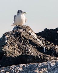 _N0A2363.jpg (tjludwick) Tags: california bird us unitedstates gull halfmoonbay breakwater blackleggedkittiwake