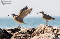 Whimbrels (Shawn Collins Photography) Tags: bird birds canon pennsylvania erie birder eriecounty presqueislestatepark pisp pabirds pabird
