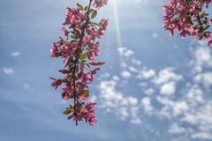 20160518-DSC_8338 (the Mack4) Tags: pink blue newyork flower clouds bokeh may rochester highlandpark starburst sunbeams 2016 niksoftware