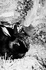 black rabbit (uwaka) Tags: blackandwhite black rabbit blancoynegro film 35mm conejo negro contax pelicula analogue compact kodak400 analogico