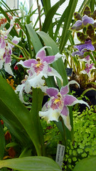 WisleyHothouse1609 (MikeLane) Tags: flowers england sunshine fleurs garden spring orchids springflowers wisley rhs royalhorticulturalsociety