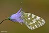 Pontia edusa (alfvet) Tags: macro nature nikon ngc butterflies natura npc insetti farfalle pieridae parcodelticino lepidotteri veterinarifotografi