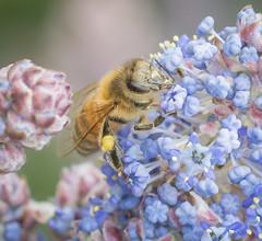 Beeing Busy. (Omygodtom) Tags: flower macro nature oregon bug insect outdoors spring nikon natural bokeh bee existinglight honeybee tamron90mm d7100 elitebugs