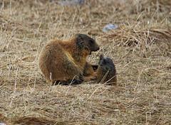 Murmeltiere beim Spielen++Marmots playing (@frauchi) Tags: canon tiere natur frhling murmeltier wildtiere naturschauspiel eos700d tamron150600mm
