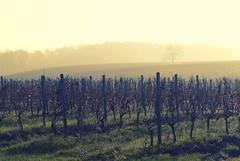 0339 Autumn In The Vineyard (Hrvoje Simich - gaZZda) Tags: autumn red sun tree green fall grass yellow forest sunrise landscape vineyard nikon croatia slavonia nikond200 sigma17702845 drenje gazzda hrvojesimich