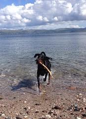 Gunner (Dls Bute) Tags: dog sun beach water play doberman gunner dobie dobermann