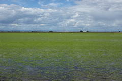 Rice (Dan Brekke) Tags: california water rice farms sacramentovalley