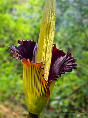 Titan Arum In Bloom (Adriansyah Putera) Tags: titanarum kibut bungabangkai carrionflower corpseflower amorphophallustitanum tebatmonok kepahiang naturethroughthelens weirdnature