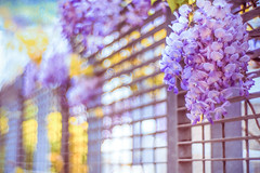 purple haze [in EXPLORE] (gian_tg) Tags: flowers light fence purple bokeh depthoffield wisteria hff happyfencefriday fujixt1 soapbubblebokeh 7dwf