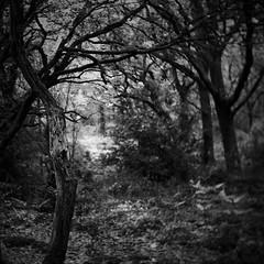 Drax woodlands, Bloxworth, Dorset, England (a.pierre4840) Tags: wood trees england blackandwhite bw monochrome forest woodland dof noiretblanc bokeh grain olympus depthoffield squareformat dorset grainy xenon omd 25mm schneider kreuznach f095 em5 artfilter fotor bloxworth cmount