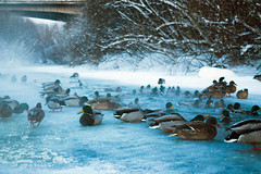 Ducks in winter (Alexander Matushenkov) Tags: park new blue winter white holiday snow cold bird nature water beautiful canon river season photo amazing cool holidays colore seasons outdoor like ducks siberia waters snowing wintertime holidayseason photooftheday