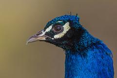 peacock (dale 1) Tags: shot head blues peacock brilliant