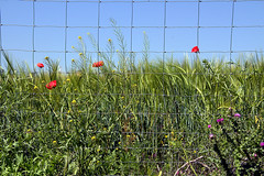 sembrado de cereal con alguna amapola (M. Martin Vicente) Tags: cereales camposdevaldemoro sembradodecerealconalgunaamapola