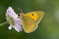 Clouded Yellow------ Colias croceus (creaturesnapper) Tags: europe butterflies lepidoptera greece pieridae coliascroceus kerkini cloudedyellow