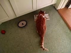 Sprocket (EllenJo) Tags: orange pet cat elderly sprocket friendspet oldcat cellphonephoto ellenjo chrisandsandy june2016