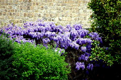 Wisteria and the wall. (pstone646) Tags: flowers plant colour building castle nature wall kent flora purple wisteria