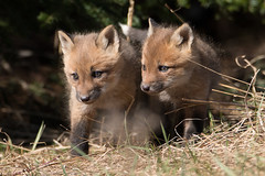 Fox kits (NicoleW0000) Tags: red wild baby canada cute nature animals photography wildlife fox kits