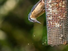Nuthatch-1-3 (worlknut) Tags: birds feeding wildlife flash nuthatch pennington songbirds