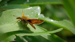 Rostfarbiger Dickkopffalter (Ochlodes sylvanus) (Oerliuschi) Tags: butterfly panasonic schmetterling ochlodessylvanus wegrand fluginsekt tagfalter rostfarbigerdickkopffalter lumixgx80