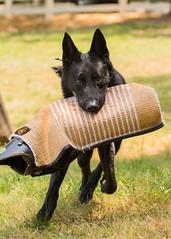 2016-05-22, IPO Training-39 (Falon167) Tags: dog shepherd german miles gsd germanshepherddog