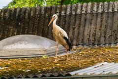 Storch (JBsLightAndShadow) Tags: bird zoo nikon heidelberg tiergarten stork vogel storch zooheidelberg tiergartenheidelberg nikond3300 d3300