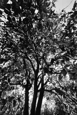 78743966.bCS00fp0.photosPomegranite_tree (Ben Thrasher) Tags: gelatinsilverprint fujineopan400 nikonf100 ilfordmultigradeivfbfiber
