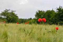 Gentil coquelicot (Excalibur67) Tags: flowers red nature fleurs landscape rouge nikon contemporary sigma paysage coquelicots pavots d7100 1770f284dcoshsmc