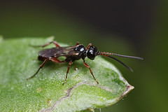 Small ichneumon wasp (Lord V) Tags: macro bug insect wasp ichneumon