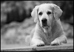 Emma (fotografier/images) Tags: leica goldenretriever golden dof bokeh emma canine retriever summicron 75mm m240 leicam240 aposummicron75mm littledoglaughedstories littledoglaughednoiret