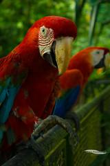 Araras-Vermelhas / Scarlet Macaws (yago_ma) Tags: red wild brazil nature colors animal animals brasil museum fauna forest scarlet cores zoo flora museu natureza selva pssaro vermelho ave tropical colourful macaw floresta emilio arara amazonia colorida goeldi