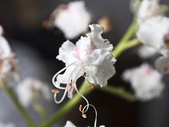 Flor. (cachanico) Tags: flowers flores flower fleur fleurs flor olympus zaragoza fiori fiore aragn daroca omdem5 mzd1250 cachanico