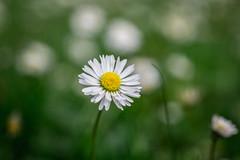 Little Daisy (Nikan Likan) Tags: white paris flower color macro green field vintage lens japanese 50mm prime bokeh mount daisy manual pk smc depth f28 | 2016 28 pentaxa