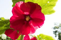 Flower (nak.viognier) Tags: flower osaka    bampakupark powershotg3x