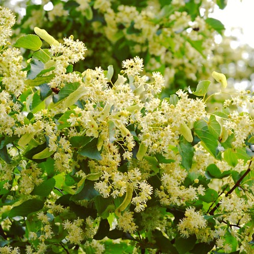 I was born in the time of #lindentree in the blossom and I admire it