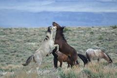 Feral Horses, South Steens HMA DDZ_3433 (NDomer73) Tags: 12april2016 april 2016 malheurnwr mammal horse feral mustang feralhorse malheurnationalwildliferefuge malheur southsteenshma southsteensherd steensmountain steens