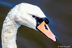 158/366 Swan (crezzy1976) Tags: uk bird water animal swan nikon outdoor photoaday 365 day158 manchestershipcanal ellesmereport d3100 crezzy1976 photographybyneilcresswell 366challenge2016