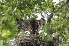 BALD EAGLE - JUVENILES (nsxbirder) Tags: baldeagle indiana juvenile haliaeetusleucocephalus brookville whitewaterriver leveeroad