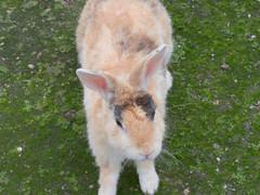 B6250654 (VANILLASKY0607) Tags: rabbit bunny bunnies nature animal japan photo wildlife wildanimal hydrangea rabbits rabbitisland wildrabbit okunoshima