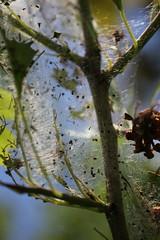Gespinst (05) (Rdiger Stehn) Tags: germany deutschland tiere europa natur pflanze pflanzen lepidoptera makro insekt baum nahaufnahme insekten schleswigholstein schmetterlinge nahlinse 2000s norddeutschland 2016 mitteleuropa insecta motte zweig kokon yponomeutidae gespinst gespinstmotten motten altenholzstift altenholz yponomeutoidea 2000er glossata canoneos550d knospenmotten