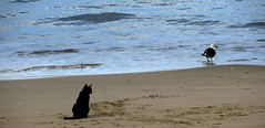 I'm not going in there....... (elliott.lani) Tags: pet cats pets black beach nature water animals cat blackcat outdoors sand gull kitty allrightsreserved naturephotography pacificgull beachcat kingstonbeach