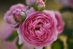 Rose 'Lilac Rose' raised in UK (naruo0720) Tags: macro rose nikon sigma   englishrose     nikond810 apomacro150mmf28exdgoshsm   rilacrose